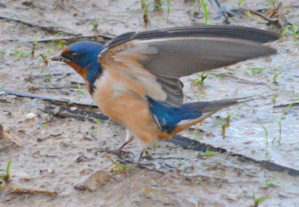 Barn Swallow 2017-7