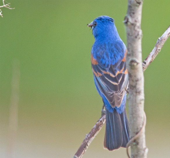 Blue Grosbeak 2017-3