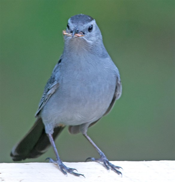 Catbird 2017-5