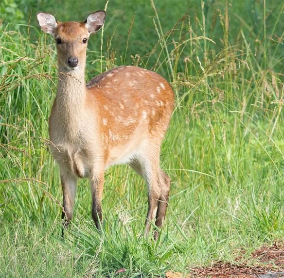 Deer-63