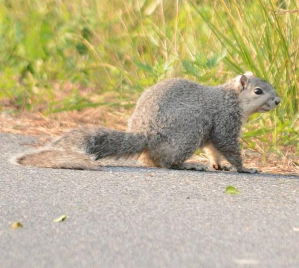 Delmarva Fox Squirrel 13