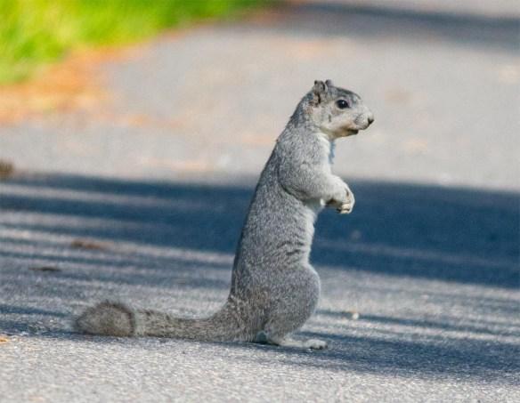 Delmarva Fox Squirrel 15