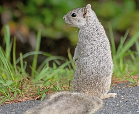 Delmarva Fox Squirrel 16