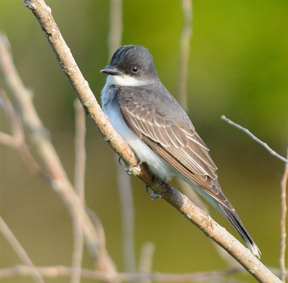 Eastern Kingbird 2017-10