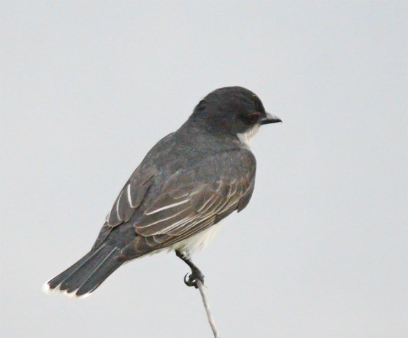 Eastern Kingbird 2017-13