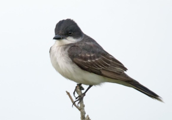 Eastern Kingbird 2017-15