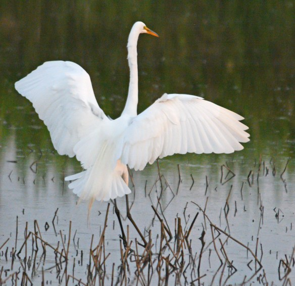 Great Egret 2017-27