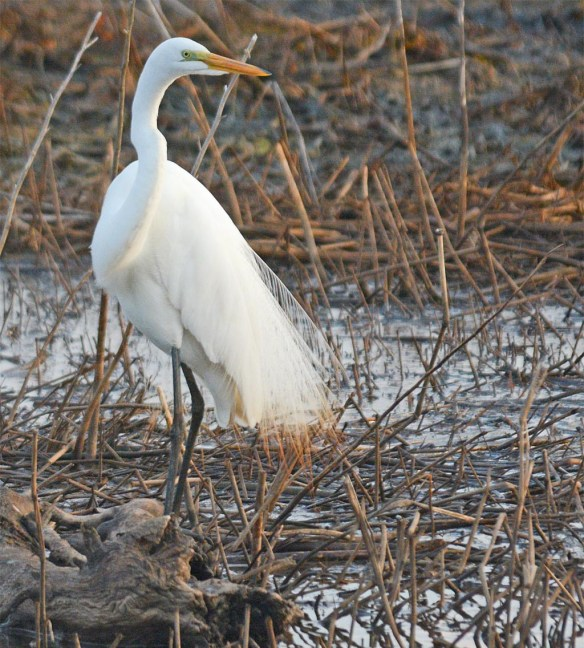 Great Egret 2017-29