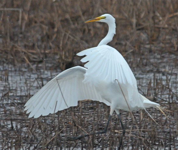 Great Egret 2017-30