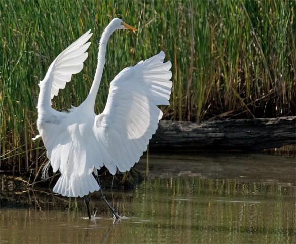 Great Egret 2017-48