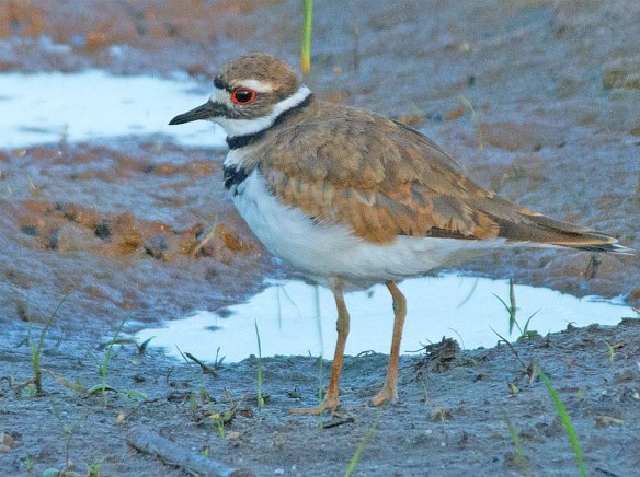 Killdeer 2017-10