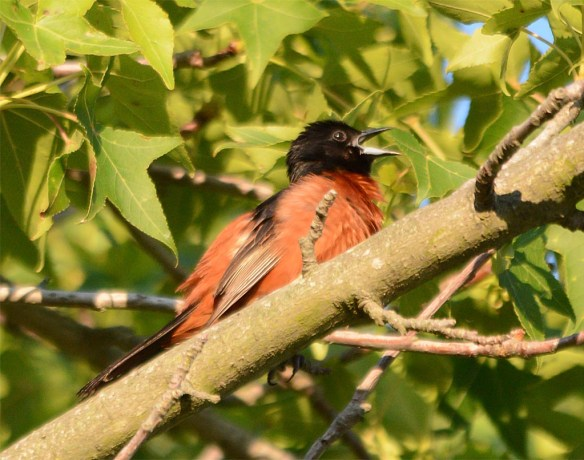 Orchard Oriole 2017-10