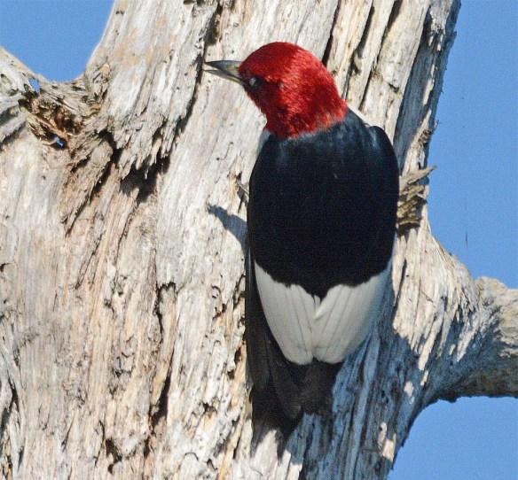 Red Headed Woodpecker 2017-16