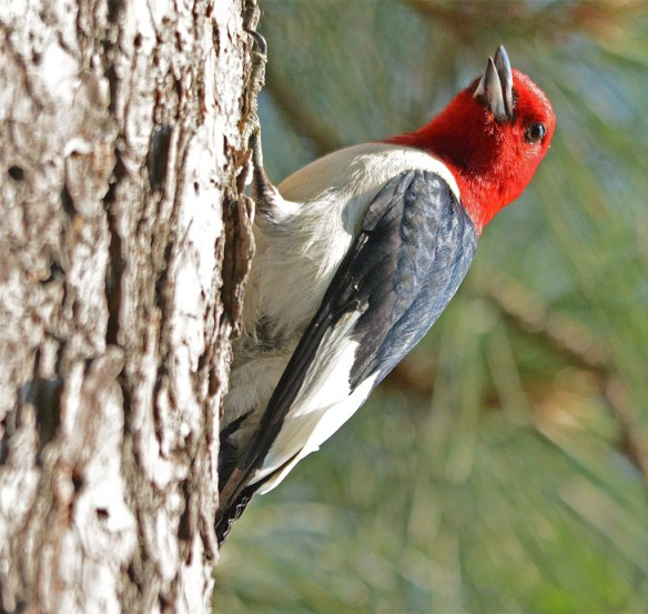 Red Headed Woodpecker 2017-20