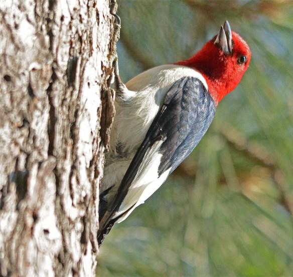 Red Headed Woodpecker 2017-20