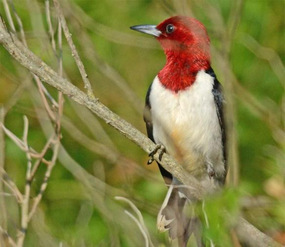 Red Headed Woodpecker 2017-22