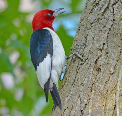 Red Headed Woodpecker 2017-23