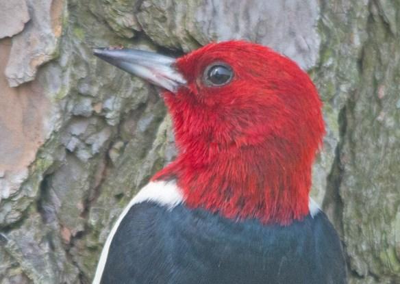 Red Headed Woodpecker 2017-34