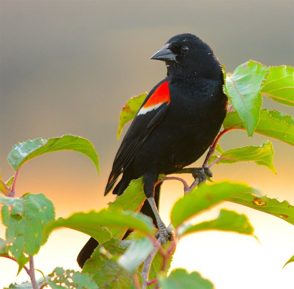 Red Winged Blackbird 2017-70