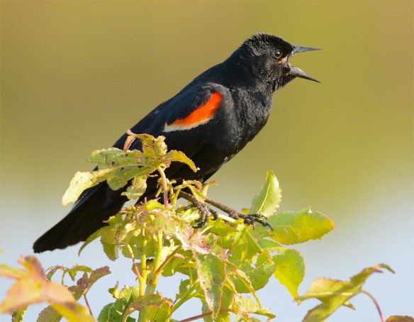 Red Winged Blackbird 2017-72