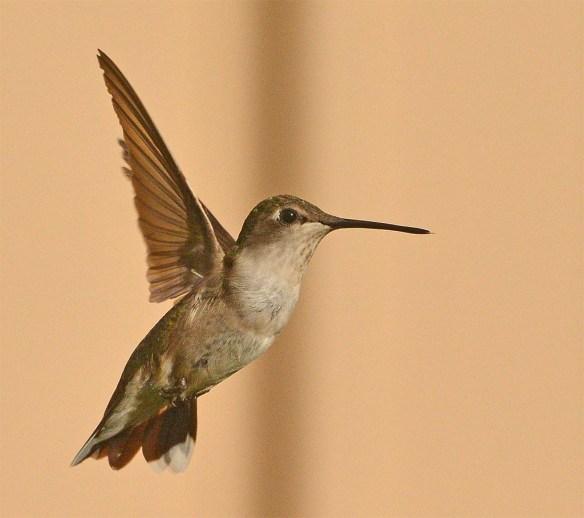 Ruby Throated Hummingbird 2017-2