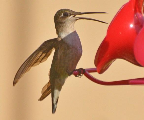Ruby Throated Hummingbird 2017-3