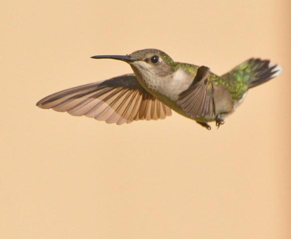 Ruby Throated Hummingbird 2017-5