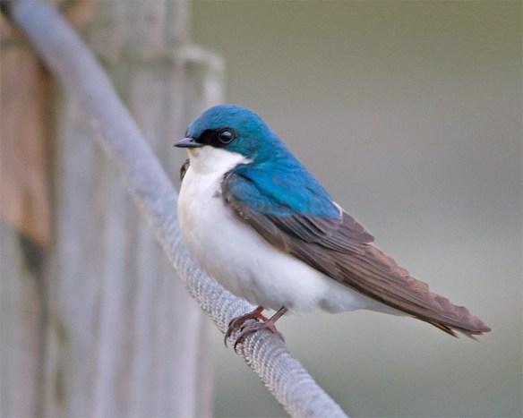 Tree Swallow 2017-45