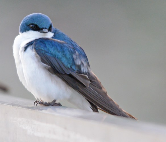 Tree Swallow 2017-49