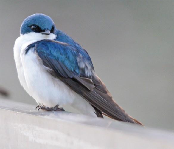 Tree Swallow 2017-49