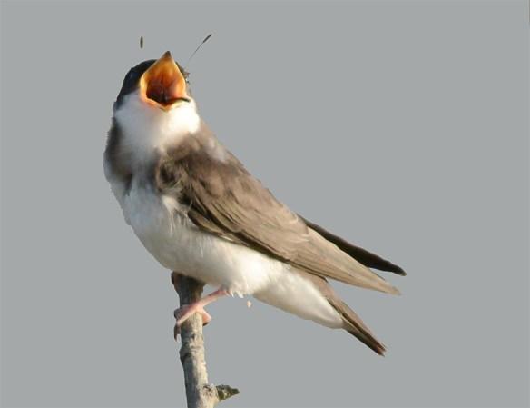 Tree Swallow 2017-53