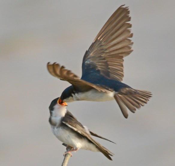 Tree Swallow 2017-56