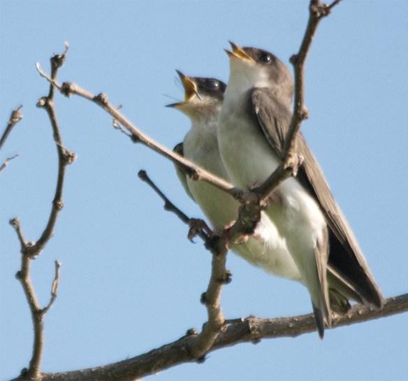 Tree Swallow 2017-66