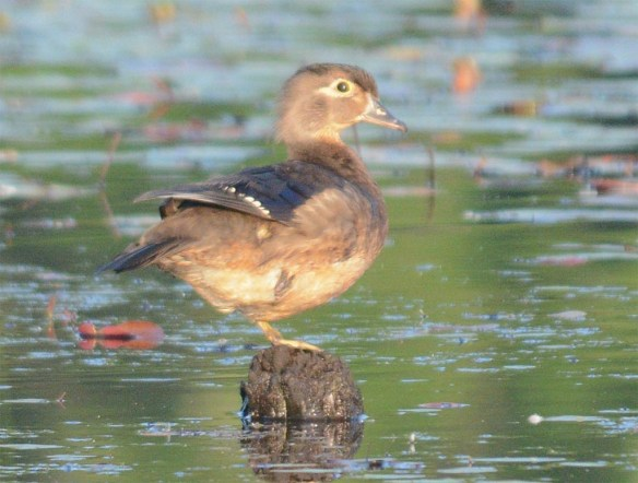 Wood Duck 2017-50