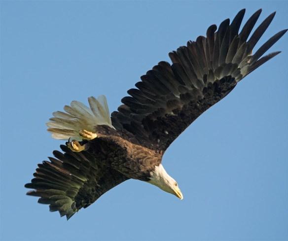 Bald Eagle 2017-128