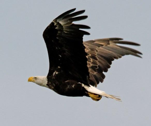 Bald Eagle 2017-133