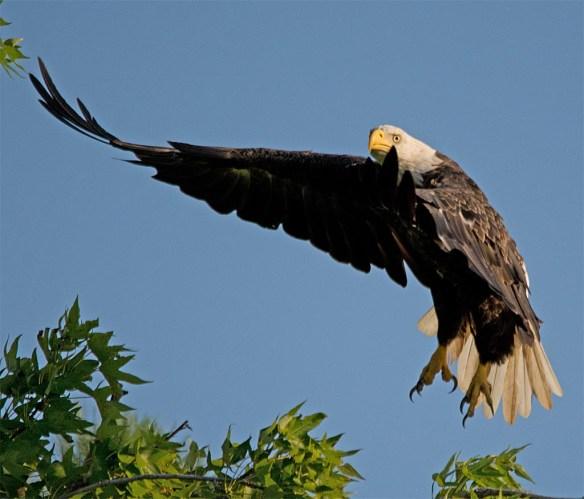 Bald Eagle 2017-139