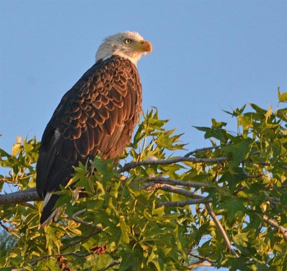 Bald Eagle 2017-141