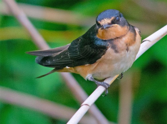 Barn Swallow 2017-22