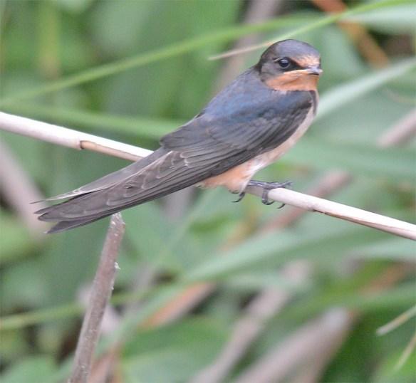 Barn Swallow 2017-25