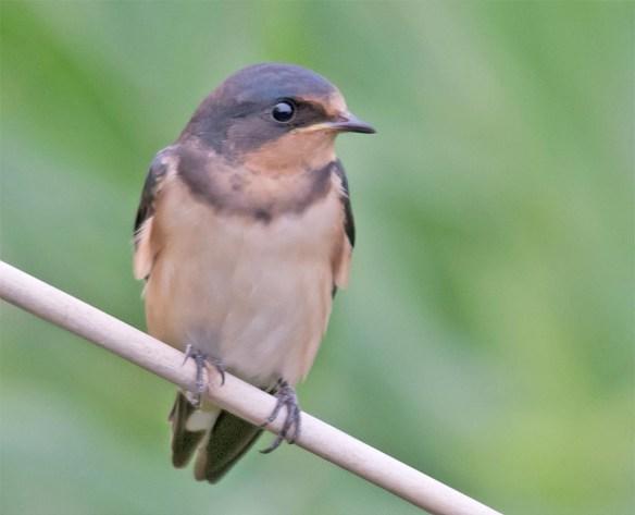 Barn Swallow 2017-26