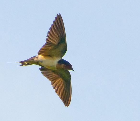 Barn Swallow 2017-27
