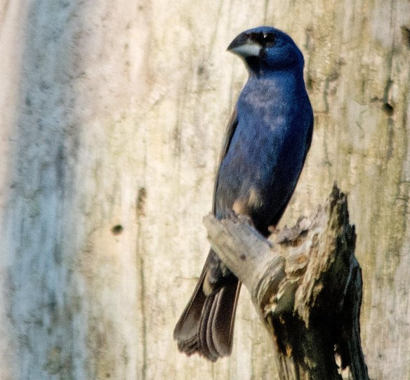 Blue Grosbeak 2017-5