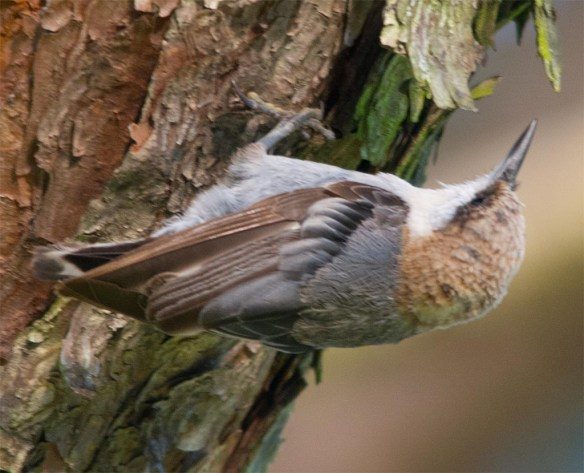 Brown Headed Nuthatch 2017-21