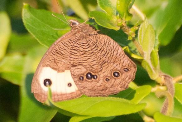 Butterfly 54
