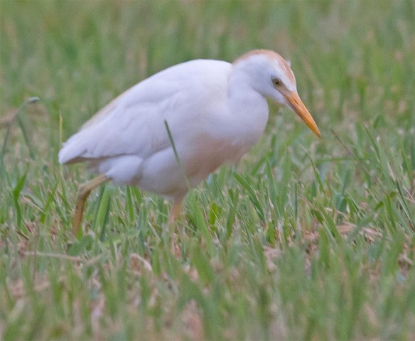 Cattle Egret 2017-1