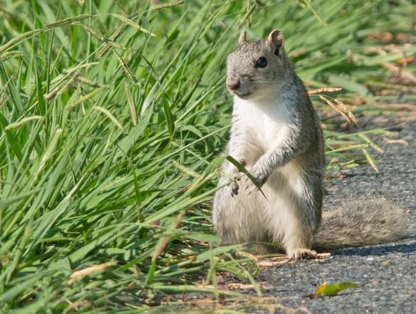 Delmarva Fox Squirrel 18