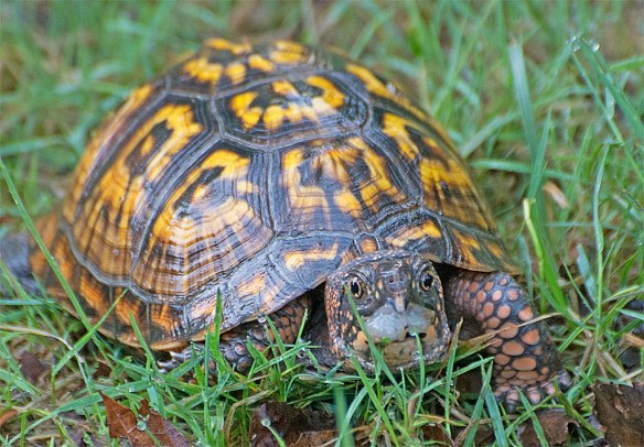 Eastern Box Turtle. 2