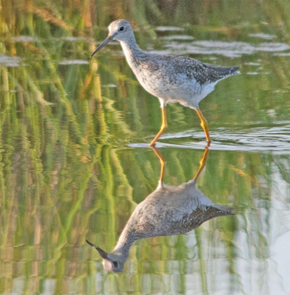 Greater Yellowlegs 2017-18