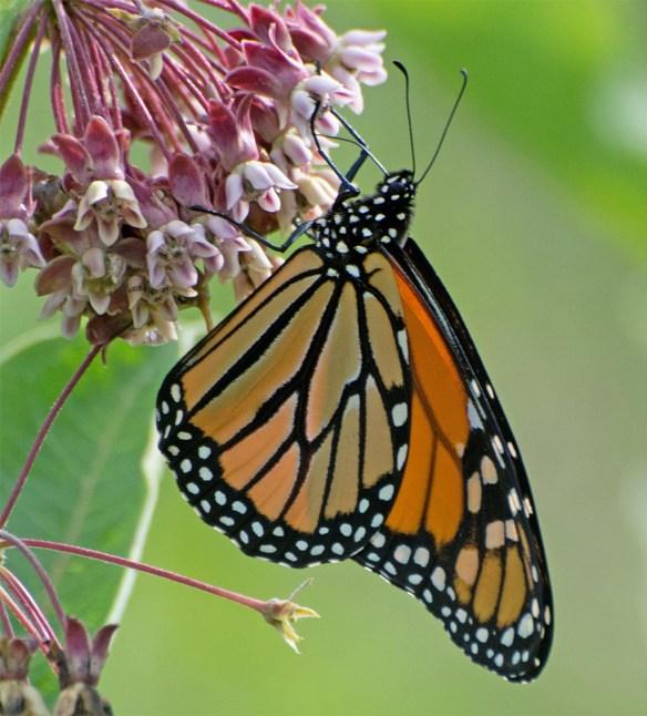 Monarch 44